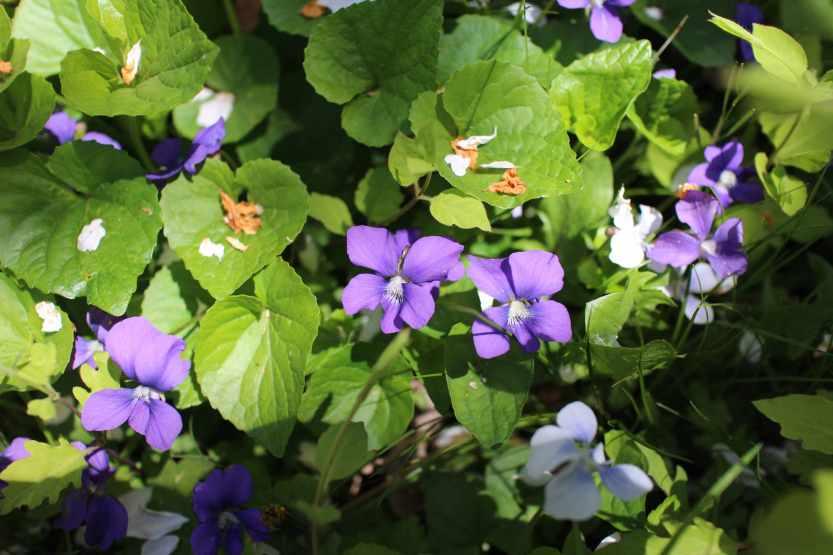 2013 0504 IMG_1563 Violets