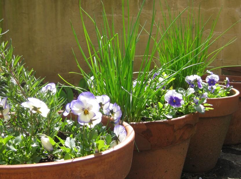 2013 0524 img_3901 herbs in pots