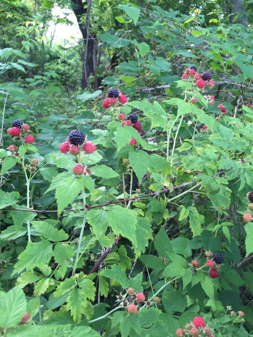 2015 0620 Wild black raspberries
