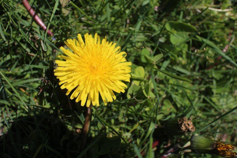 20200418 Dandelion Flower IMG_8153
